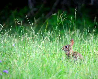 Cottontail in the Grass