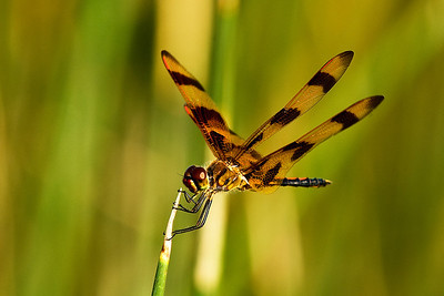 Waco Wetlands - Dragonflies  8-2-2013