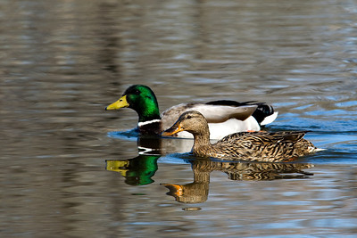 Mallards at Inks Lake State Park.   This image is protected by U. S. copyright laws so it cannot be copied, downloaded, or reproduced by any means without the formal written permission of Mark Chapman at Country Images.