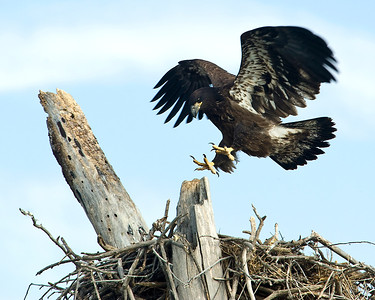 Baby bald eagle at about 3 months old, jumping up out of the nest and landing on the tree.