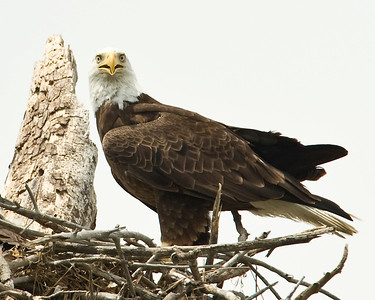 Male bald eagle standing on the edge of the nest.