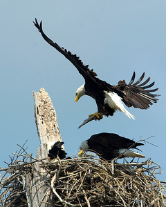Male eagle bringing a fish to the chick.