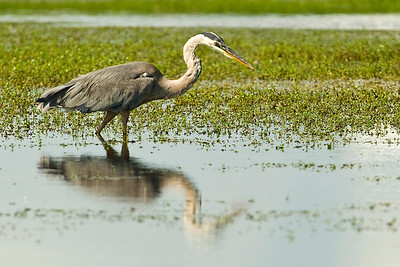 Mirror image of this Great Blue Heron.  This image was captured near Port Aransas, texas.   This image is protected by U. S. copyright laws so it cannot be copied, downloaded, or reproduced by any means without the formal written permission of Mark Chapman at Country Images.