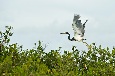 A Tricolored Heron flying at Lighthouse Lakes near Port Aransas, Texas.    This image is protected by U. S. copyright laws so it cannot be copied, downloaded, or reproduced by any means without the formal written permission of Mark Chapman at Country Images.