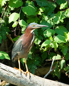 Green Heron    This image is protected by U. S. copyright laws so it cannot be copied, downloaded, or reproduced by any means without the formal written permission of Mark Chapman at Country Images.
