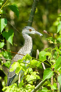 A juvenile Yellow-Crowned Night-Heron.  This image was shot on the North bosque river in central Texas.    This image is protected by U. S. copyright laws so it cannot be copied, downloaded, or reproduced by any means without the formal written permission of Mark Chapman at Country Images.