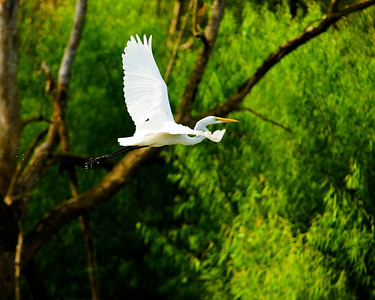 A Great Egret flying along the North Bosque river.    This image is protected by U. S. copyright laws so it cannot be copied, downloaded, or reproduced by any means without the formal written permission of Mark Chapman at Country Images.