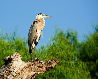 Great Blue Heron on the North Bosque river.    This image is protected by U. S. copyright laws so it cannot be copied, downloaded, or reproduced by any means without the formal written permission of Mark Chapman at Country Images.