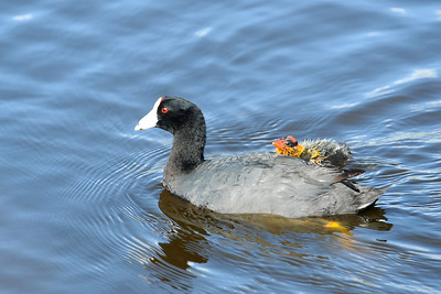 American Coot and baby