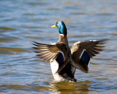 Mallard male dying his wings at Inks Lake State Park.   This image is protected by U. S. copyright laws so it cannot be copied, downloaded, or reproduced by any means without the formal written permission of Mark Chapman at Country Images.