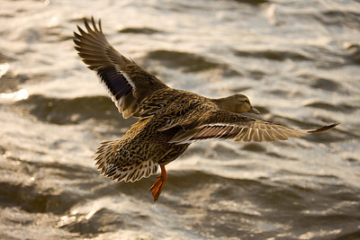 A Mallard hen coming in for a landing at Inks Lake State Park.   This image is protected by U. S. copyright laws so it cannot be copied, downloaded, or reproduced by any means without the formal written permission of Mark Chapman at Country Images.