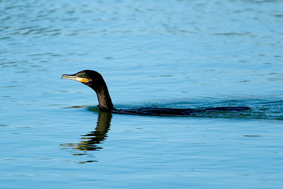 Neotropic Cormorant   This image is protected by U. S. copyright laws so it cannot be copied, downloaded, or reproduced by any means without the formal written permission of Mark Chapman at Country Images.